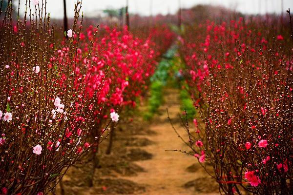 Vườn hoa Nhật Tân trong tiết trời xuân